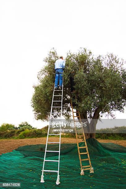 Italy: Man High on Ladder Picking Olives, Olive Net