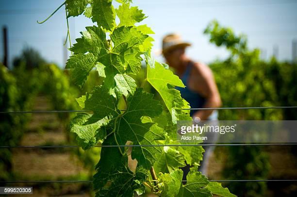 Italy, Mansuè, Treviso, vineyard