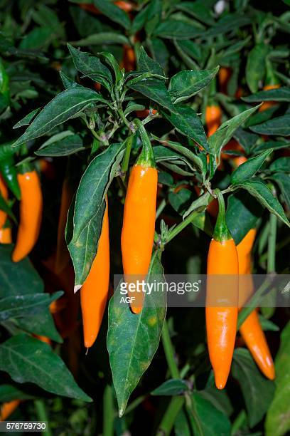 Italy Milan chili peppers market exhibition Golden Cayenna high pungency