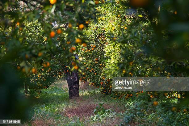 italy, nicotera, tangerine trees - 果樹園 ストックフォトと画像