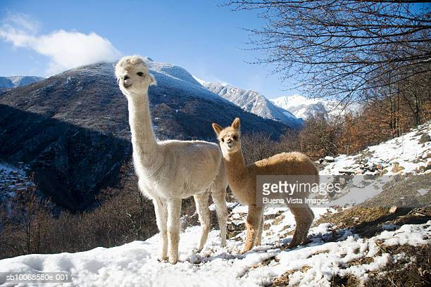 Italy, Piedimont, 3 months old male Alpaca with mother