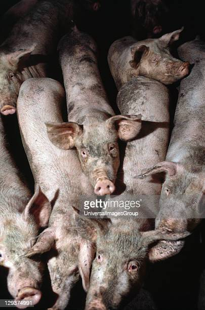 Italy Po Delta Saluzzo Vicinity Cuneo Battery Pig Farms In their short lives the pigs produce three times as much organic waste as the 16 million...