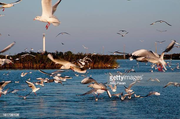 italy, porto tolle, seagulls in flight - broek stockfoto's en -beelden