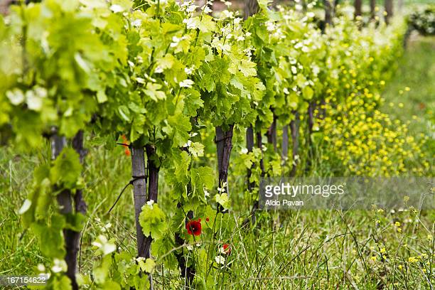 Italy, Rionero in Vulture, wineyard