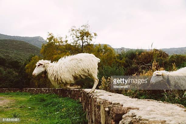 Italy, Sardinia, Alghero, Sheep jumping from stone wall