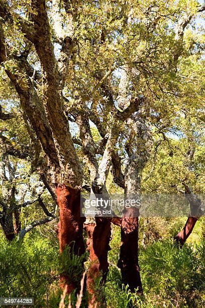 ITA Italy Sardinia corkoak wood near Tempio Pausania