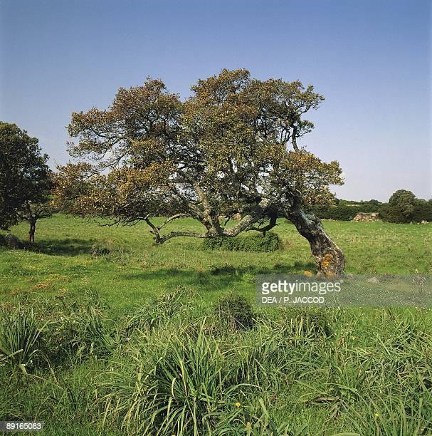 Italy Sardinia region Anglona outskirts of Nuraghe Ruju Fagaceae Cork Oak