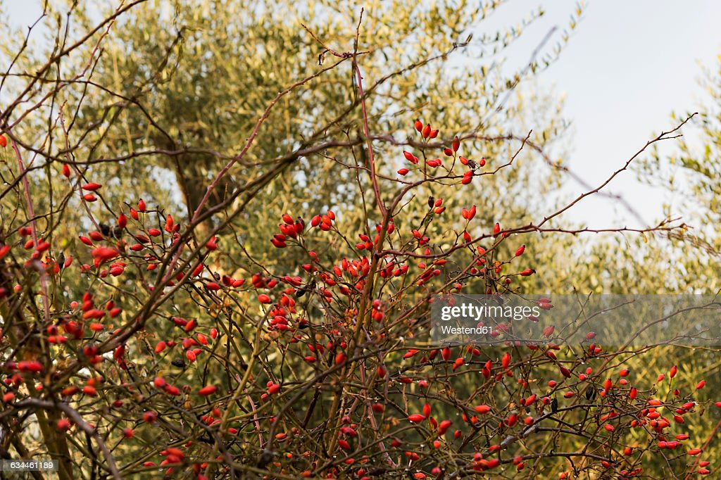 Italy, Sicily, dogrose in front of olive tree : Stock-Foto