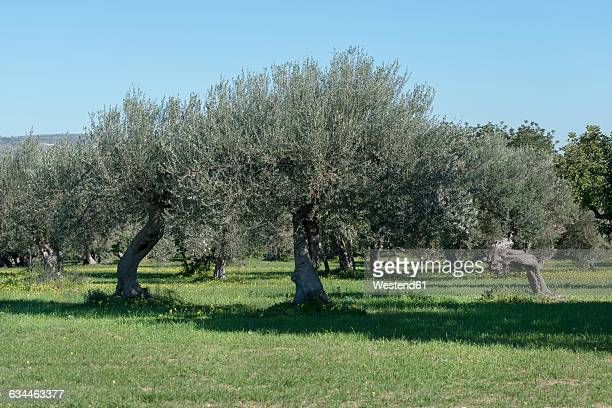 italy, sicily, olive trees - olive orchard stock photos and pictures