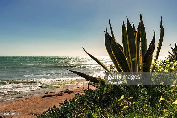 Italy, Sicily, Ragusa, Coast of Sampieri, agave and woodsorrel