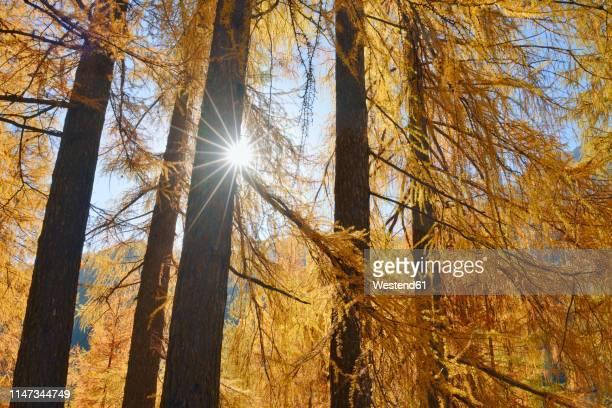 italy, south tyrol, european larch, larix decidua, forest against the sun - conifera foto e immagini stock
