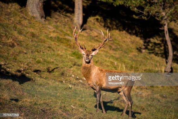 Italy, South Tyrol, Funes Valley, Deer in the forest