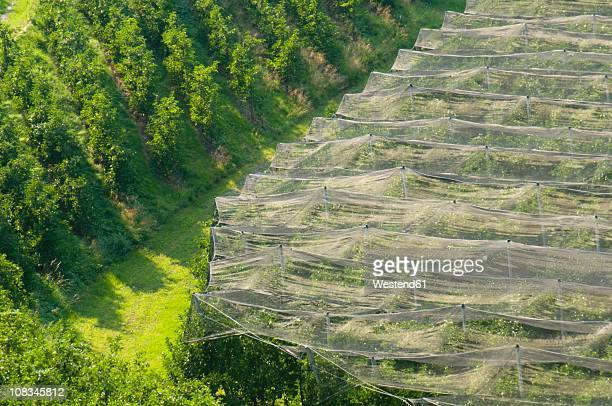 Italy, South Tyrol, Meran, Elevated view of apple plantation