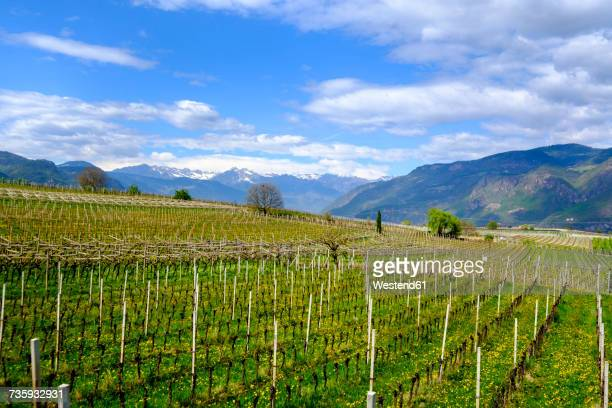 Italy, South Tyrol, Ueberetsch, Girlan, vineyards
