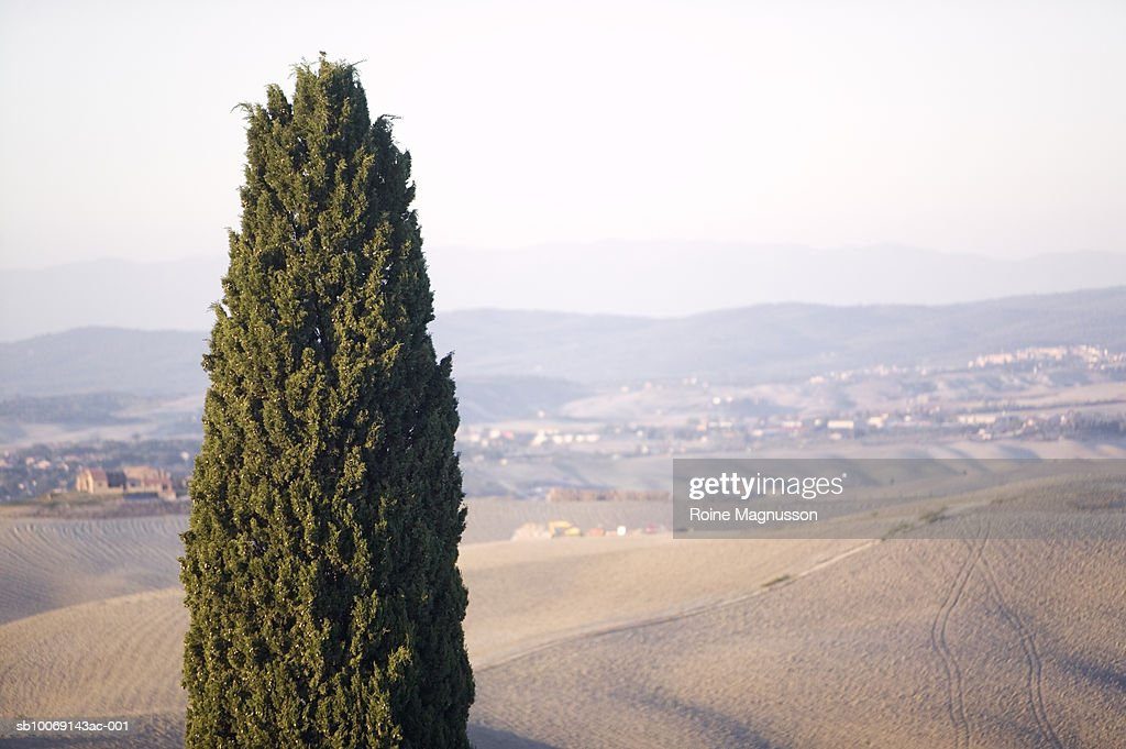 Italy, Toscana, San Quirico d'Orcia, cypress tree in field : Stockfoto