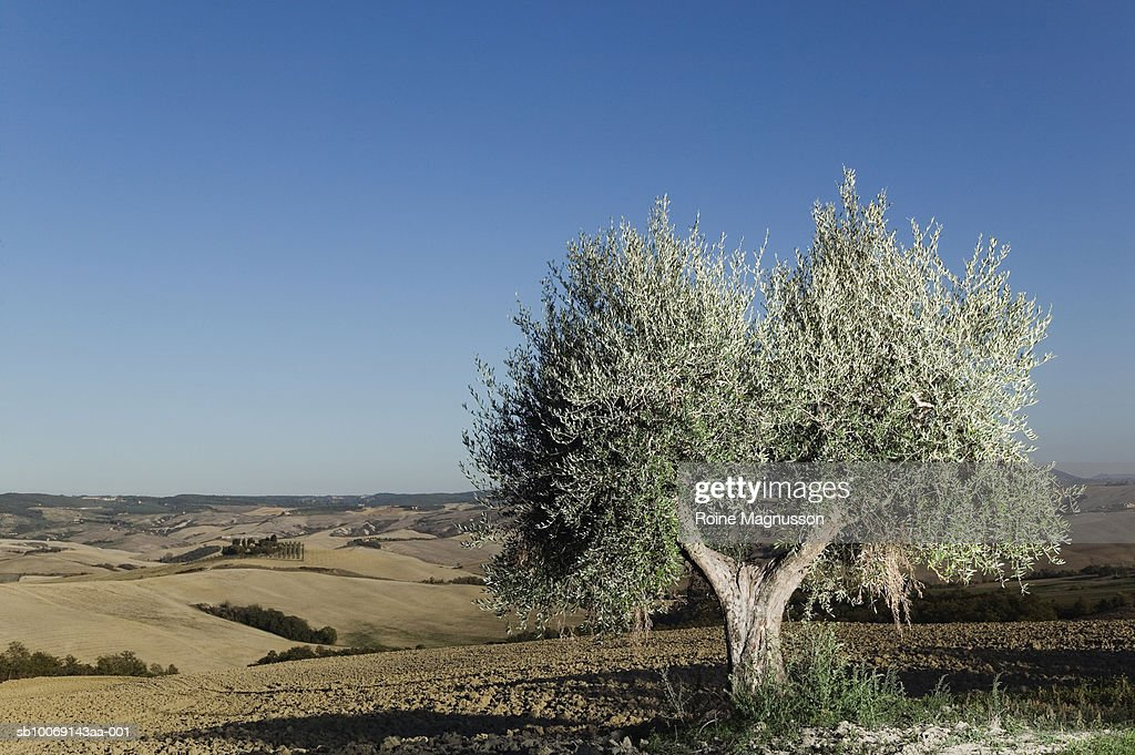 Italy, Toscana, San Quirico d'Orcia, olive tree in field : Stockfoto