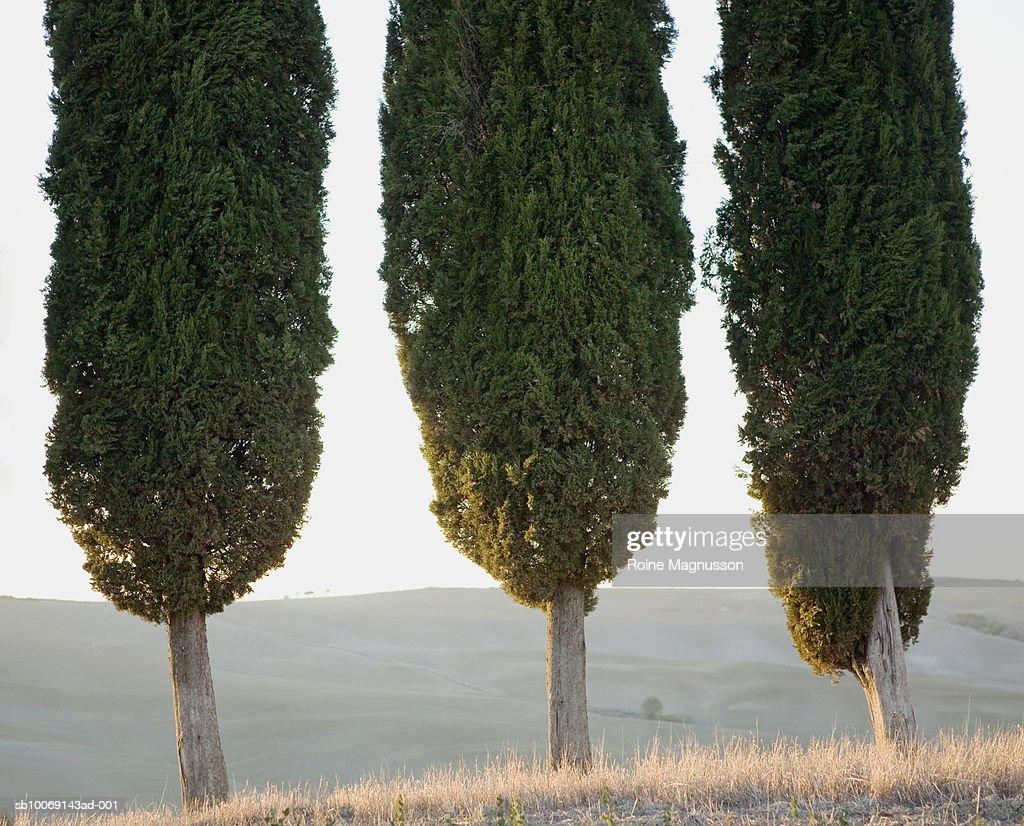 Italy, Toscana, San Quirico d'Orcia, three cypress trees in row : Stockfoto