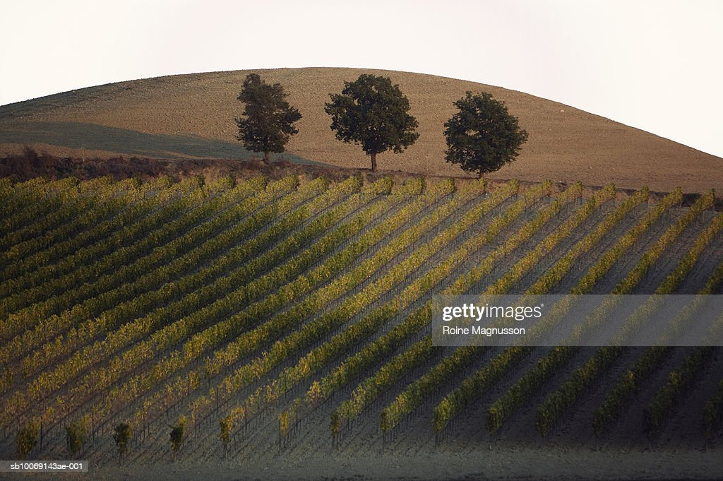 Italy, Toscana, San Quirico d'Orcia, vineyard at sunset : Stockfoto