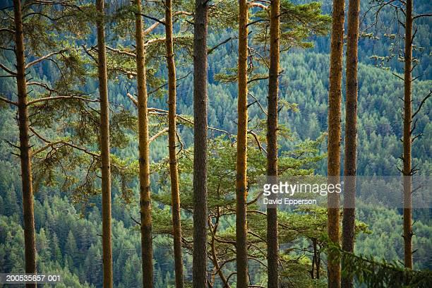 Italy, Trentino-Alto Adige, Alto Adige, pine forest in Dolomites
