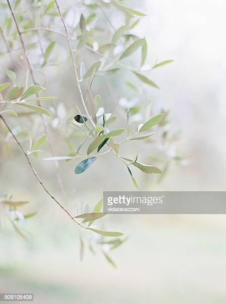 Italy, Tuscany, Arezzo, Tuscan olive branch