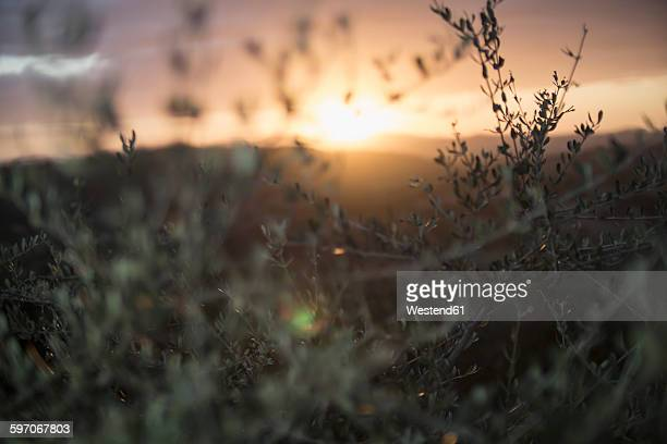 Italy, Tuscany, Maremma, olive trees at sunset