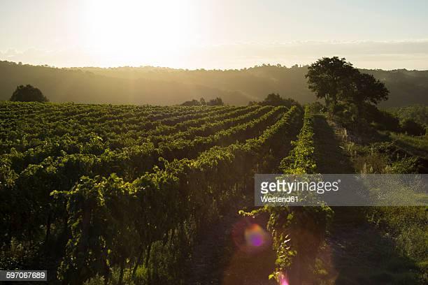 Italy, Tuscany, Maremma, vineyard in morning light