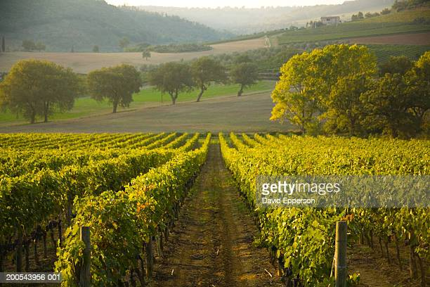 Italy, Tuscany, Montalcino, vineyards of Sangiovese grapes