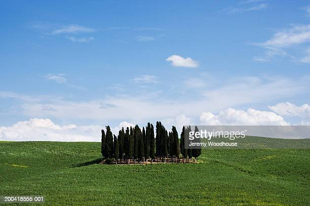 Italy, Tuscany, San Quirico d'Orcia, grove of cypress trees