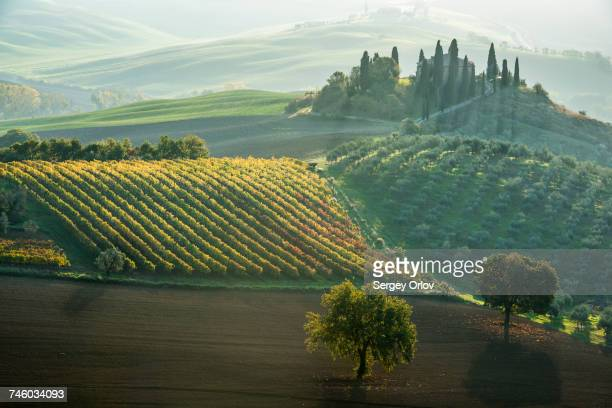 italy, tuscany, san quirico dorcia, podere belvedere, green hills, olive gardens and small vineyard under rays of morning sun - olive orchard stock photos and pictures