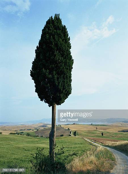italy, tuscany, val d'orcia, cypress tree (cupressus sp.) - cypress tree stock pictures, royalty-free photos & images
