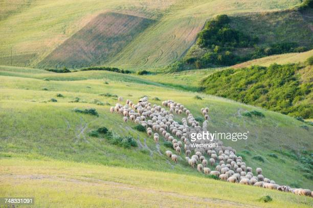 italy, tuscany, val d'orcia, flock of sheep grazing in meadow - pascolo foto e immagini stock