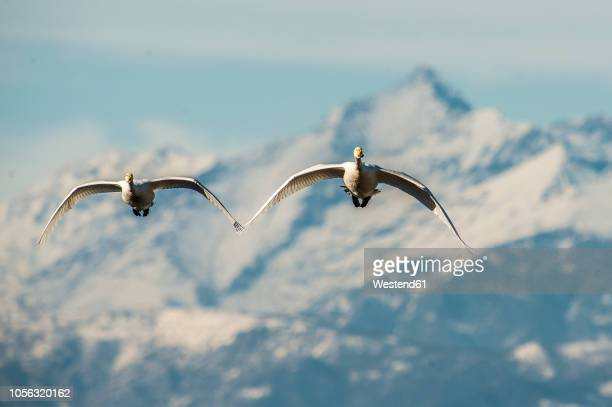 italy, two whooper swans flying side by side - spread wings stock pictures, royalty-free photos & images