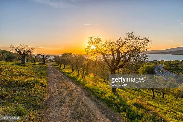 italy, umbria, lake trasimeno, olive grove on the hills at sunset - orchard stock pictures, royalty-free photos & images