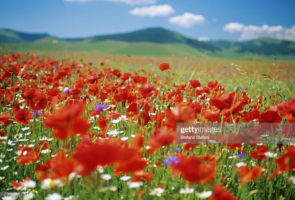 Italy, Umbria, Monti Sibillini National Park, Castellucchio, Flowering meadow, close-up : Stock Photo