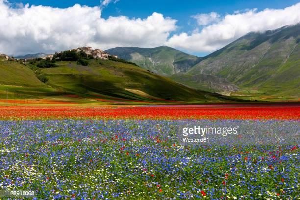 italy, umbria, sibillini national park, blooming flowers on piano grande di castelluccio di norcia - カステッルッチョ ストックフォトと画像