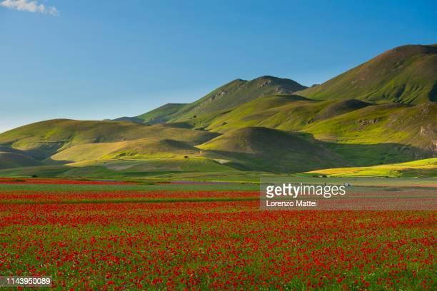 italy, umbria, sibillini national park, blooming on piano grande di castelluccio di norcia - castelluccio stock pictures, royalty-free photos & images