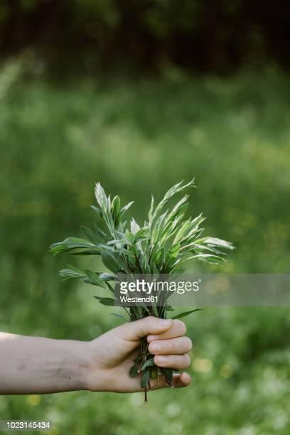 italy, veneto, hand holding bunch of tarragon - foerageren stockfoto's en -beelden