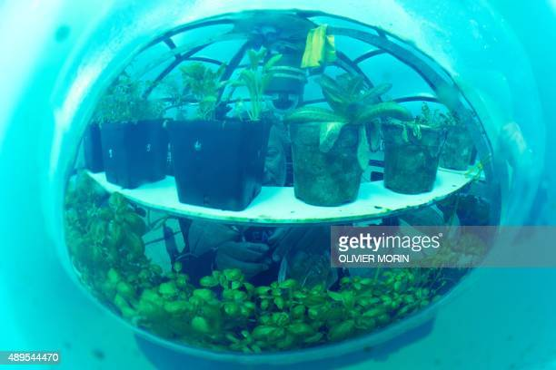 Italy's Head of Nemo's Garden project Sergio Gamberini harvests basil in an immerged Biosphere on September 20 2015 in Noli 3 biospheres with air...