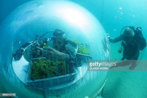 Italy's Project coordinator of Nemo's Garden Gianni Fontanesi harvests basil in an immerged Biosphere on September 20 2015 in Noli 3 biospheres with...