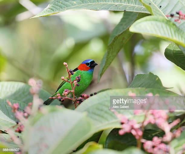 A red-necked tanager, Tangara cyanocephala cyanocephala, rests on a branch in Ubatuba, Brazil