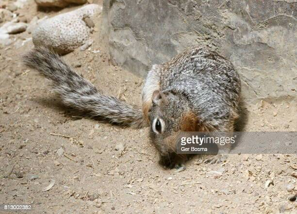 Itchy Rock Squirrel