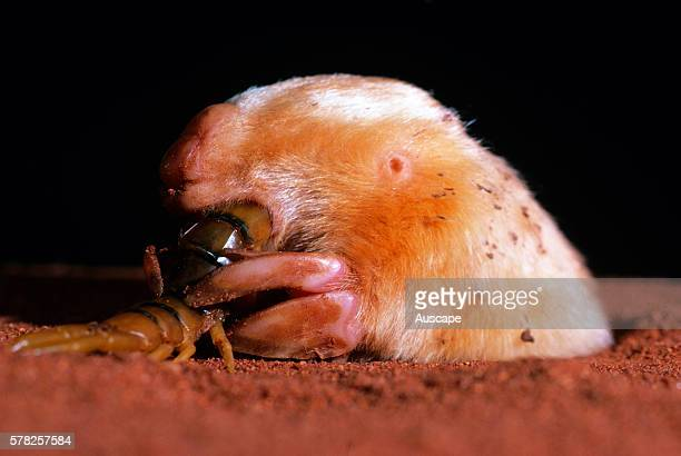 Itjaritjari, Notoryctes typhlops, eating centipede. Tanami Desert, Northern Territory, Australia.