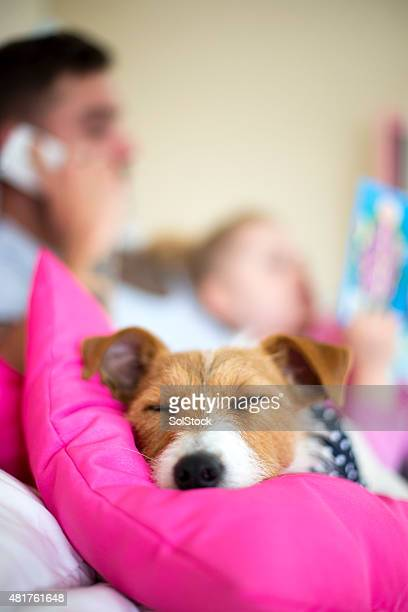 it's a dogs life - jack russell terrier stock photos and pictures