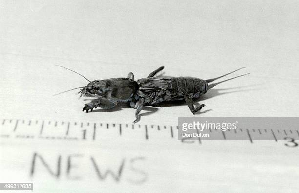 It's a gruesome Gryllotalpidan But it's better known as a mole cricket and a Diamond cabbie made quite a find when he encountered it on his sleeve in...