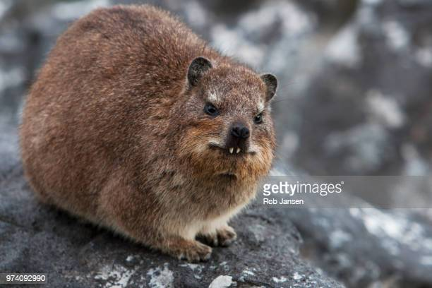 It's a Rock Hyrax..