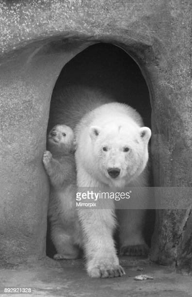It's a tight squeeze mum Polar Bear twins Aurora and Polaris who are three months old went out with their mother Sonja for the first time at...