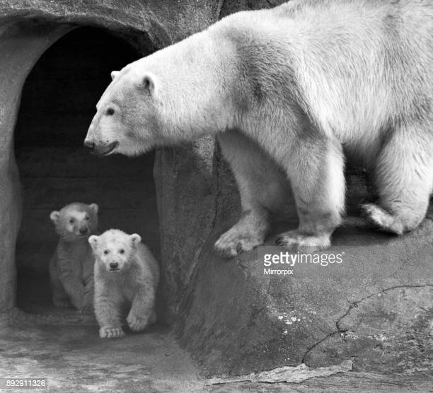 Its all clear you can come out now Polar Bear twins Aurora and Polaris who are three months old went out with their mother Sonja for the first time...