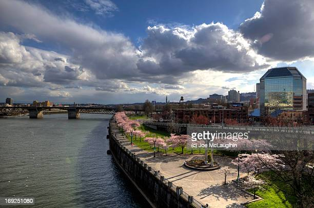 it's cherry blossom time at waterfront park - burnside bridge portland stock photos and pictures