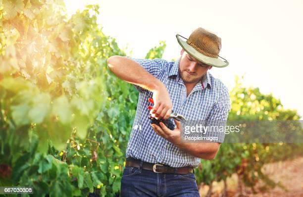 Het is essentieel om te plukken van de druiven, wanneer ze rijp zijn