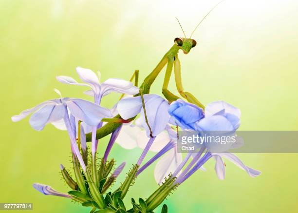 its good to be the queen - grasshopper stock pictures, royalty-free photos & images